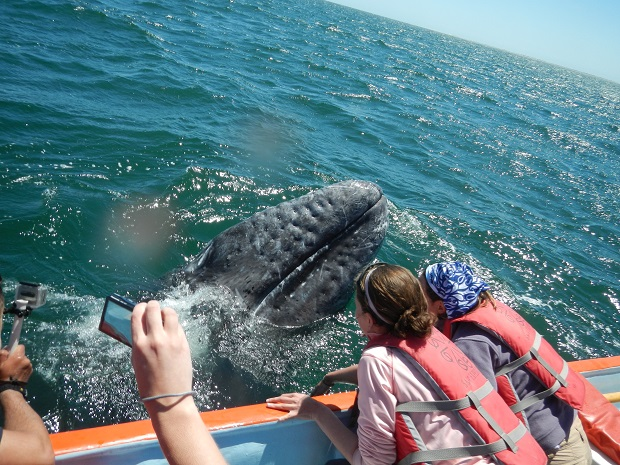 Gray Whale in Baja California, Mexico (Photo: Google)